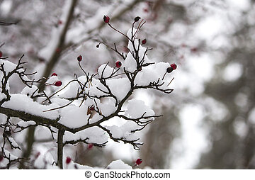 A branch of wild rose in the snow. Winter beautiful nature