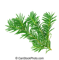 a branch of yew isolated on white background