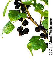 A branch with berries of black currant, isolated on a white