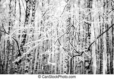 A branch with frost in a winter forest against the background of birch trunks black and white