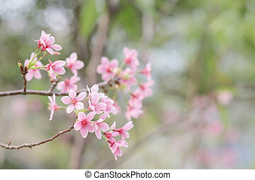 a Bright pink cherry blossom background with light