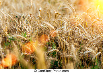 A bright sunny day, a field of wheat on a summer day, a concept of good drinking. Large spikelets, close-up. Sun shimmer