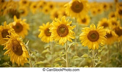 A bright yellow field of sunflowers - two bees sitting on...