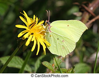 brimstone butterfly - a brimstone butterfly feeding on a...