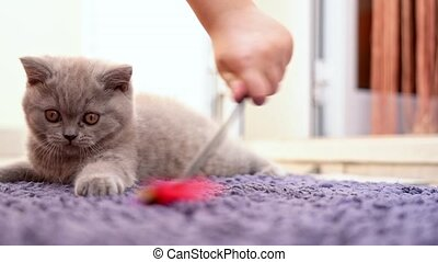 A British breed kitten is played with a child with a toy on ...