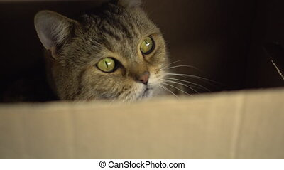 A British cat sits in a cardboard box and looks through a crack. 4k