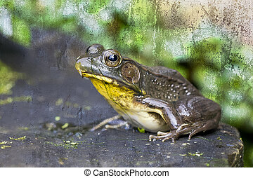 A brown and green frog sitting on a rock in a garden pond ...