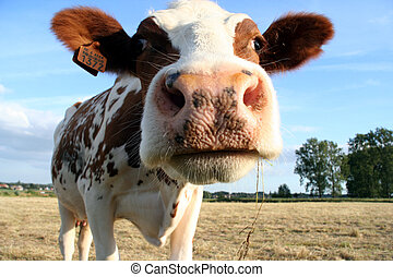 cow - a brown and white dairy cow. Selective Dof with focus ...