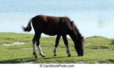 A brown and white foal stands on a lake bank in summer in slo-mo