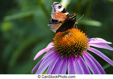 A brown butterfly sits on a bright echinacea flower