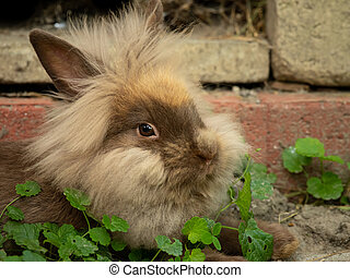 A brown cute dwarf rabbit resting in the grass