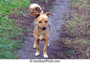 a brown dog stands on a path in green grass