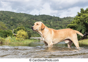 A brown dog walking over river in Kiriwong village, Thailand