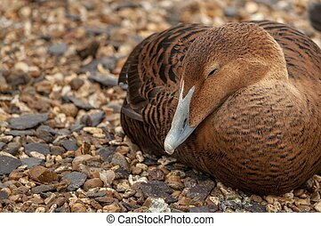 A brown eider duck sleeping on small pebbles