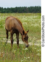 A brown foal stands in the field and eats grass