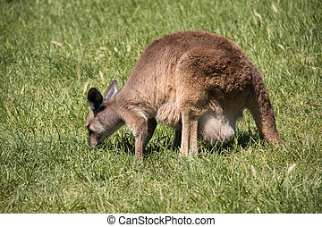 Brown kangaroo in wildlife conservation, Australia.