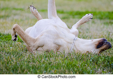 A Brown labrador in a grass field