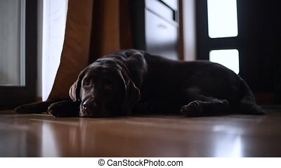 a brown labrador retriever is lying on the floor in the ...