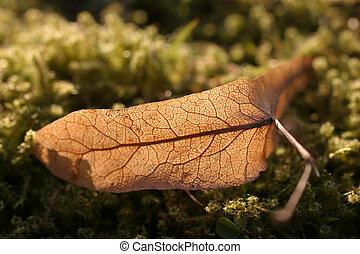 leaf - a brown leaf in the sunlight
