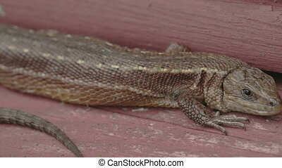 A brown long tail common lizard stuck on the wood. The tail...