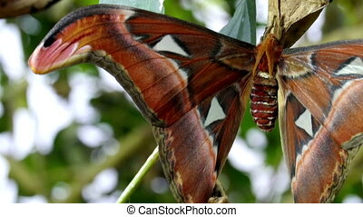A brown red butterfly sticking on a leaf