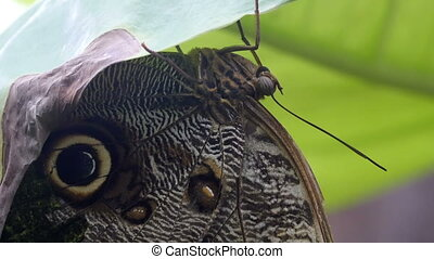 A brown winged butterfly hanging on a leaf