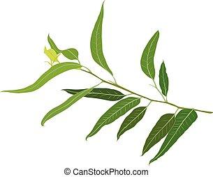 A brunch of Eucalyptus vector illustration