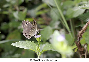 brush foot butterfly