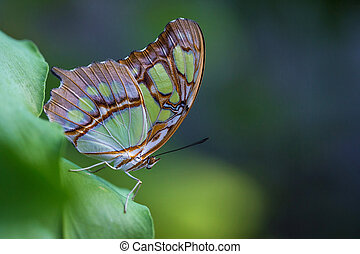 A brush-footed butterfly or Malachite (Siproeta stelenes)