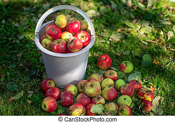 A bucket with apples on the lawn.