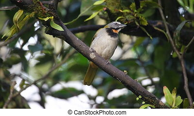 Buff-throated Saltator from Panama - A Buff-throated...