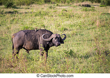 A buffalo with a white bird on its back is standing in a meadow
