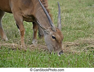 A bull common eland eating
