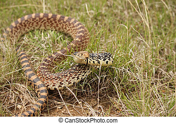 A bull snake takes a defensive position in the grass.