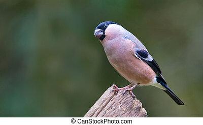 A Bullfinch on a branch
