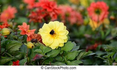 A bumble bee pollinating a flower of dahlia
