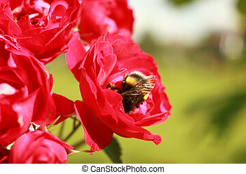 A bumblebee collects pollen from the flowers of a rose