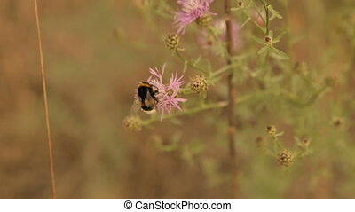 A bumblebee gathers pollen from a field flower - Bumblebee....