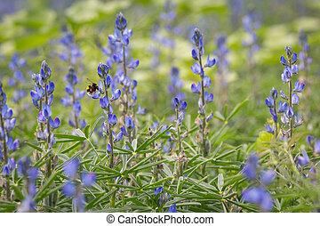 A bumblebee in a field of blue lupins