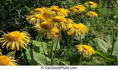 A bumblebee on Elecampane