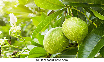A bunch green raw round fruit of Suicide tree, called in other name are Pong Pong and Othalanga tree, on green leaf and white blooming petals background