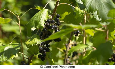 A bunch of black currant on bushes