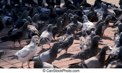 A bunch of city doves