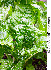 spinach - a bunch of fresh green spinach from the garden