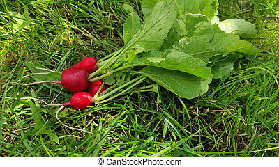 A bunch of fresh pink radishes for salad on a natural vegetable background, isolated on a white background.