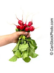 A bunch of fresh pink radishes in a woman's hand isolated on a white background.