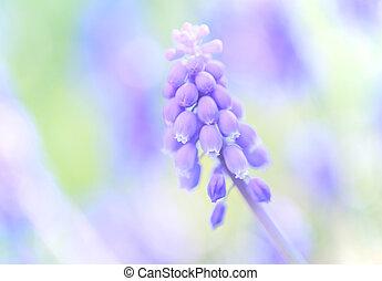 A Bunch of full bloom Grape hyacinth(Muscari) purple flowers, defocused colorful Spring garden/field background, close up/Macro horizontal hero image 2