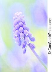 A Bunch of full bloom Grape hyacinth(Muscari) purple flowers, defocused colorful Spring garden/field background, close up/Macro vertical hero image 2