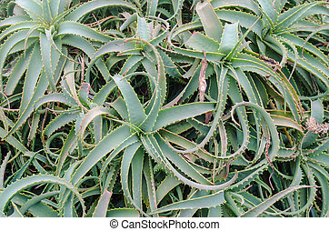 a bunch of green aloe vera plants