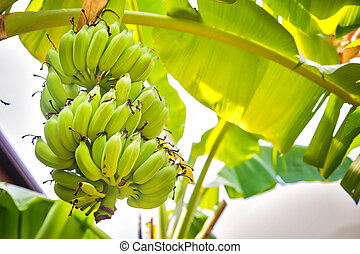 A bunch of green bananas growing on a palm tree.